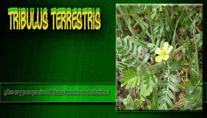 Tribulus Terrestris in Bodybuilding